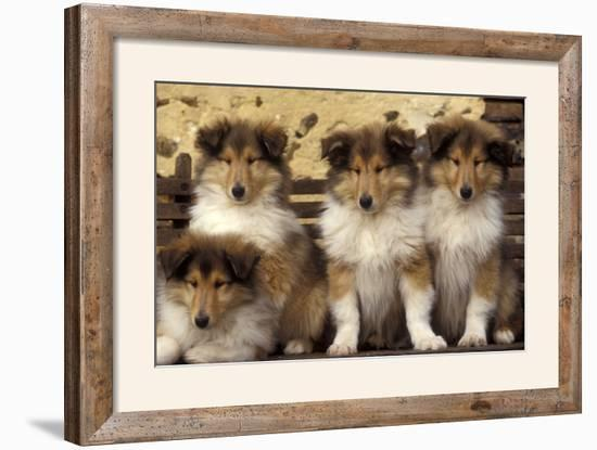 Rough Collie Dogs Four Puppies--Framed Photographic Print