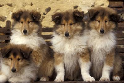 Rough Collie Dogs Four Puppies--Photographic Print