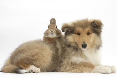 Rough Collie Puppy, 14 Weeks, with Sandy Netherland Dwarf-Cross Rabbit-Mark Taylor-Photographic Print