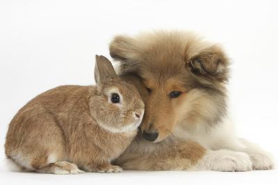 Rough Collie Puppy, 14 Weeks, with Sandy Netherland Dwarf-Cross Rabbit-Mark Taylor-Photographic Print