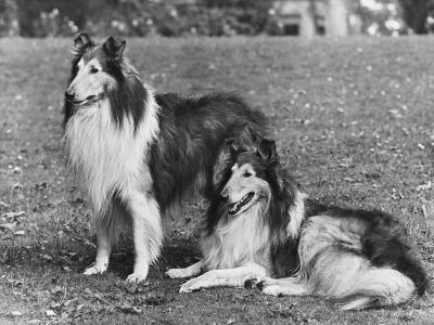 Rough Collie--Photographic Print