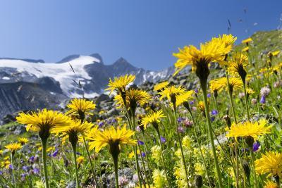 Rough Hawkbit in Full Bloom, Zillertal Alps, Austria-Martin Zwick-Photographic Print