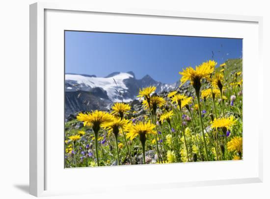 Rough Hawkbit in Full Bloom, Zillertal Alps, Austria-Martin Zwick-Framed Photographic Print