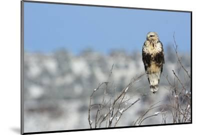 Rough-Legged Hawk-Ken Archer-Mounted Photographic Print