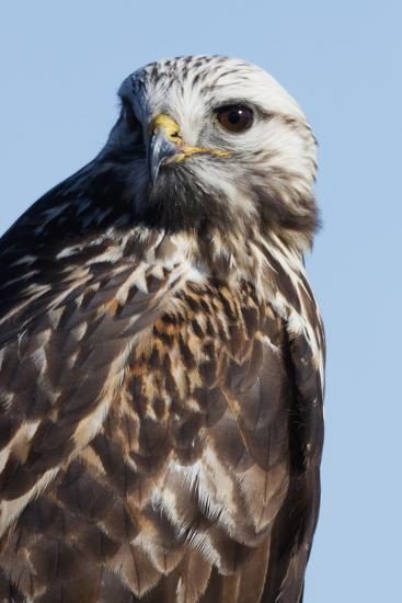 Rough-Legged Hawk-Ken Archer-Photographic Print