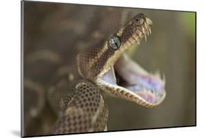 Rough-Scaled Python Defensive Posture