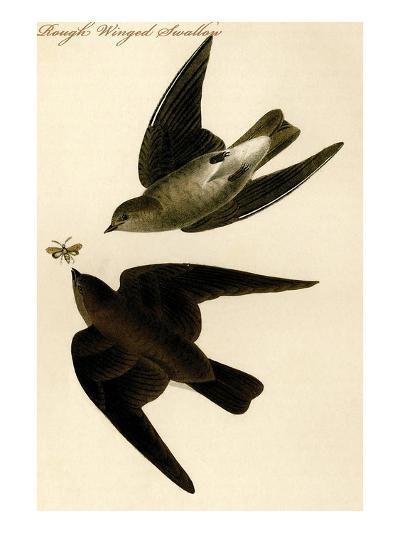Rough Winged Swallow-John James Audubon-Art Print