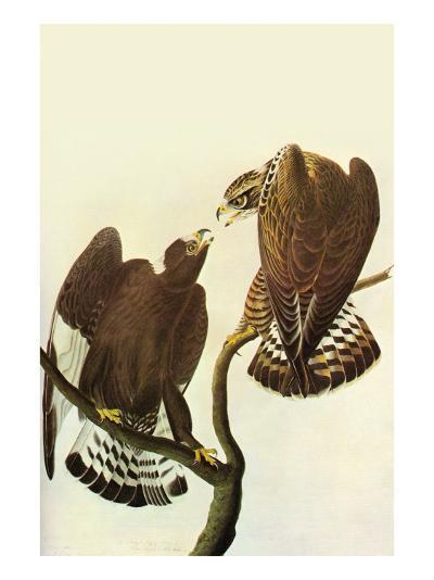 Roughlegged Hawk-John James Audubon-Art Print