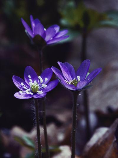 Round-Lobed Hepatica Blossoms-Mattias Klum-Photographic Print