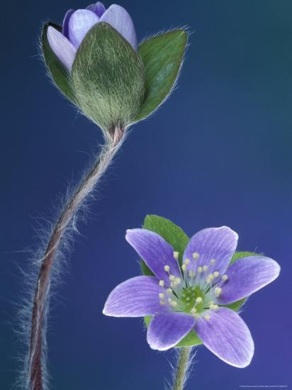 Round-Lobed Hepatica Bud and Fleur, Lapeer, Michigan, USA-Claudia Adams-Photographic Print