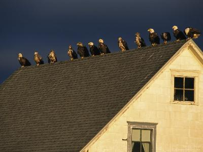 Row of American Bald Eagles Perched on a Rooftop-Tom Murphy-Photographic Print
