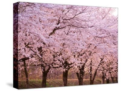 Row of Cherry Trees