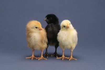 Row of Chicks-DLILLC-Photographic Print