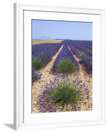 Row of Cultivated Lavender in Field in Provence, France. June 2008-Philippe Clement-Framed Photographic Print