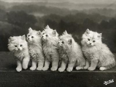 Row of Five Adorable White Fluffy Chinchilla Kittens-Thomas Fall-Photographic Print