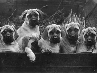 Row of Mastiff Puppies Owned by Oliver-Thomas Fall-Photographic Print