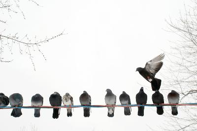 Row of Pigeons on Wire-Ernest McLeod-Photographic Print