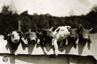 Row of Pigs Resting on Fence