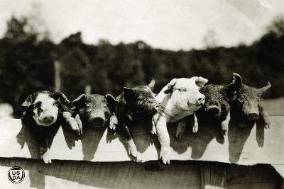 Row of Pigs Resting on Fence--Photographic Print