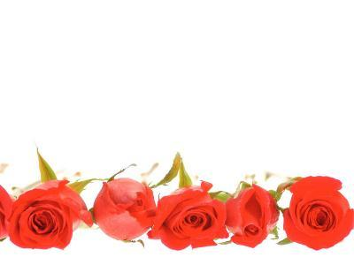 Row of Red Roses--Photographic Print