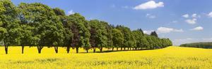 Row of Trees in a Rape Field, Baden-Wurttemberg, Germany