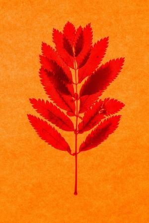https://imgc.artprintimages.com/img/print/rowan-leaves_u-l-ptza4w0.jpg?p=0