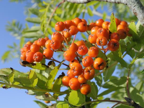 Rowan (Mountain Ash) (Sorbus Aucuparia) Berry Cluster, Wiltshire, England, United Kingdom, Europe-Nick Upton-Photographic Print