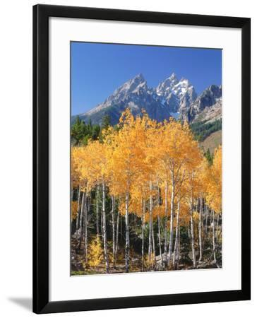 Rows of Golden and Green Aspen Trees Stand Among Boulders in Front of Cathedral Group Mountains-Jeff Foott-Framed Photographic Print