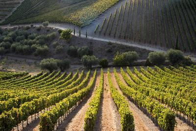Rows of Grape Vines Ripening in the Sun at a Vineyard in the Alto Douro Region, Portugal, Europe-Alex Treadway-Photographic Print