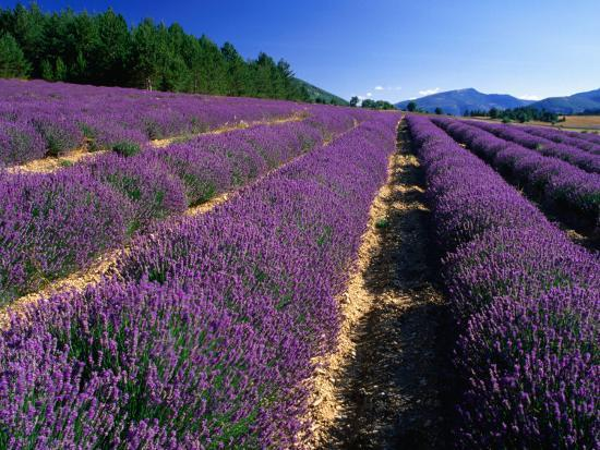 Rows of Lavender in Bloom, Vaucluse Region, Sault, Provence-Alpes-Cote d'Azur, France-David Tomlinson-Photographic Print