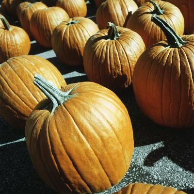 Rows of pumpkins--Photographic Print