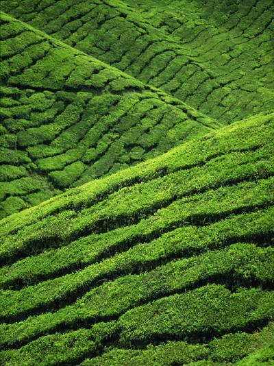 Rows of Tea Bushes at the Sungai Palas Estate in the Cameron Highlands in Perak Province, Malaysia-Robert Francis-Photographic Print