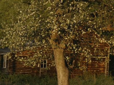 A Flowering Tree Standing Near a Barn