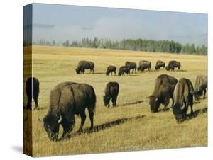Bison Grazing in Yellowstone National Park, Wyoming, USA by Roy Rainford