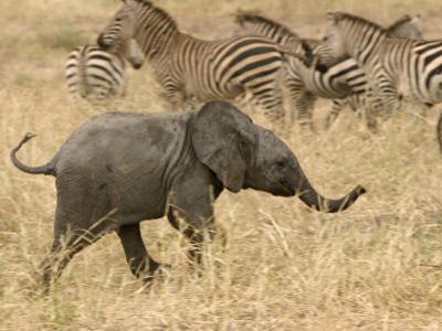 A Baby African Elephant Trots Past a Zebra Herd (Loxodonta Africana)