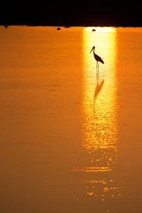 A Black-Necked Stork, Ephippiorhynchus Asiaticus, in Water, Silhouetted at Sunset by Roy Toft