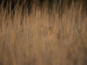 A Bobcat Hides in the Overgrowth by Roy Toft