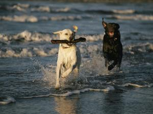 A Chocolate Labrador Retriever Chases after a Stick-Carrying Yellow Labrador Retriver by Roy Toft