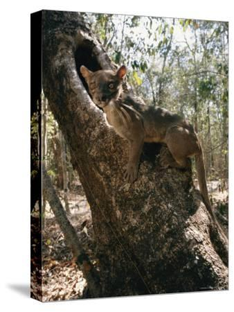 A Fossa Stands on a Tree Trunk