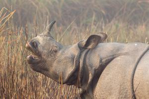 A Greater One-Horned or Indian Rhinoceros Eating in Early Sunlight and Fog by Roy Toft