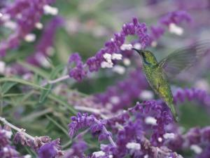 A Green Violet-Eared Hummingbird Feeds on Wildflowers by Roy Toft