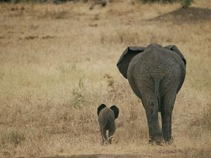A Juvenile African Elephant and its Parent Walk off into the Savanna by Roy Toft