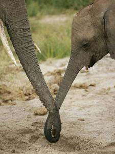 A Juvenile African Elephant Joins Trunks with its Parent by Roy Toft
