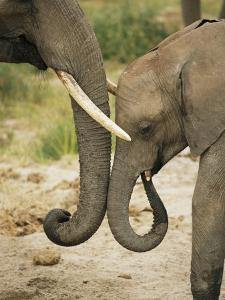 A Juvenile African Elephant Rubs Trunks with its Parent by Roy Toft