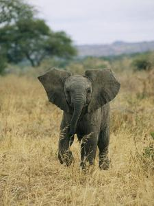 A Juvenile African Elephant Takes a Walk by Roy Toft