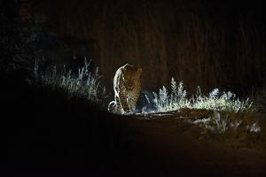 A Leopard, Panthera Pardus, Walking at Night by Roy Toft