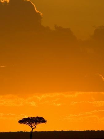 A Lone Acacia Tree Stands Silhouetted on Masai Mara at Sunset
