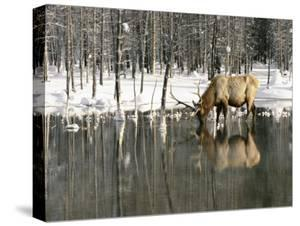 A Male Elk Takes a Drink While Standing in the Water in This Winter Scene by Roy Toft
