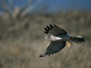 A Northern Harrier Hawk in Flight by Roy Toft