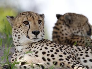 A Pair of Cheetahs, Acinonyx Jubatus, Resting by Roy Toft